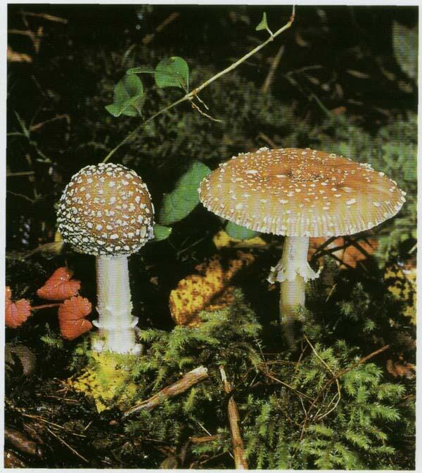 Как нарисовать гриб из красной книги